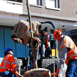Workers from municipality of Amsterdam are planting many trees as part of a large renovation and new urban design plan that is taking place in the city before the upcoming opening of the new Metro Line Noord /Zuidlijn