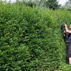 A worker is clipping a privet hedge.