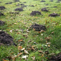 many molehills and old leaves in the grass in a meadow, garden concept with copy space, selected focus, narrow depth of field (many molehills and old leaves in the grass in a meadow, garden concept with copy space, selected focus, narrow depth of fiel